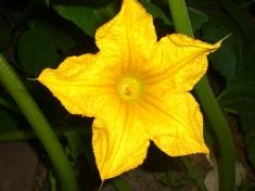 squash-blossom-1