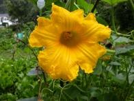 squash_blossom